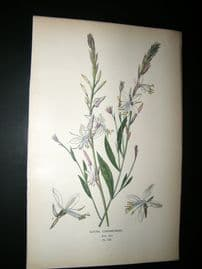 Step 1897 Antique Botanical Print. Gaura Lindheimer