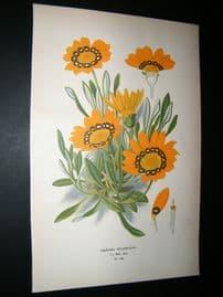 Step 1897 Antique Botanical Print. Gazania Splendens