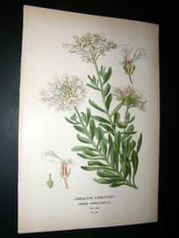 Step 1897 Antique Botanical Print. Gibraltar Candytuft