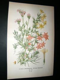 Step 1897 Antique Botanical Print. Gilia Coronopifolia, Gilia Tricolor