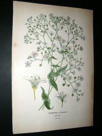 Step 1897 Antique Botanical Print. Gypsophila Elegans