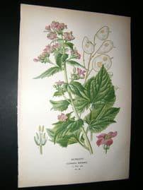 Step 1897 Antique Botanical Print. Honesty