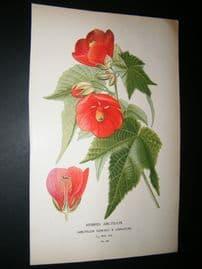 Step 1897 Antique Botanical Print. Hybrid Abutilon