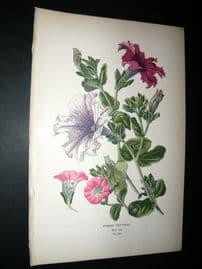 Step 1897 Antique Botanical Print. Hybrid Potunias