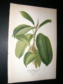Step 1897 Antique Botanical Print. India-Rubber Plant