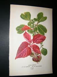 Step 1897 Antique Botanical Print. Iresine Herbstii