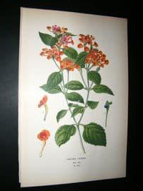 Step 1897 Antique Botanical Print. Lantana Camara