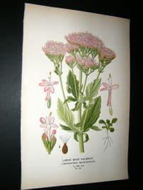 Step 1897 Antique Botanical Print. Large Spur Valerian