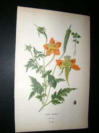 Step 1897 Antique Botanical Print. Loasa Lateritia