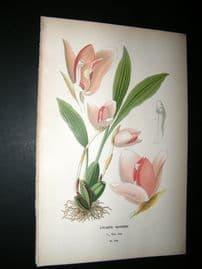 Step 1897 Antique Botanical Print. Lycaste Skinner Orchid