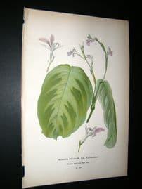 Step 1897 Antique Botanical Print. Maranta bicolor