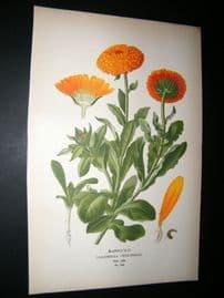 Step 1897 Antique Botanical Print. Marigold