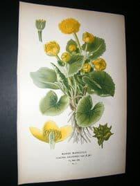 Step 1897 Antique Botanical Print. Marsh Marigold