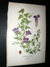 Step 1897 Antique Botanical Print. Maurandya Barclayana