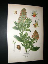 Step 1897 Antique Botanical Print. Mignonette