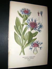 Step 1897 Antique Botanical Print. Mountain Cornflower