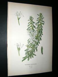 Step 1897 Antique Botanical Print. Myoporum Parvifolium