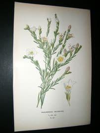 Step 1897 Antique Botanical Print. Nierembergia Frutescens