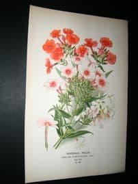 Step 1897 Antique Botanical Print. Perennial Phlox