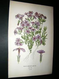 Step 1897 Antique Botanical Print. Phlox Subulata