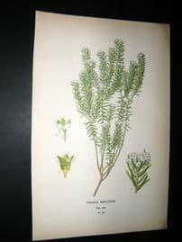 Step 1897 Antique Botanical Print. Phylica Ericoides