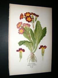 Step 1897 Antique Botanical Print. Polyanthus