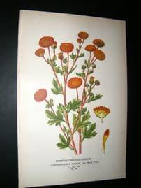 Step 1897 Antique Botanical Print. Pompon Chrysanthemum
