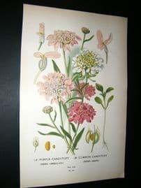 Step 1897 Antique Botanical Print. Purple Candytuft. Common Candytuft