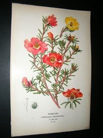 Step 1897 Antique Botanical Print. Purslane