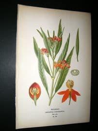 Step 1897 Antique Botanical Print. Redhead