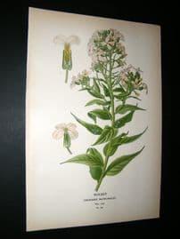 Step 1897 Antique Botanical Print. Rocket