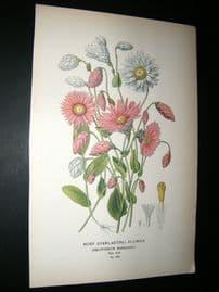 Step 1897 Antique Botanical Print. Rosy Everlasting