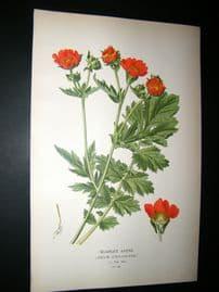 Step 1897 Antique Botanical Print. Scarlet Avens
