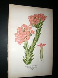 Step 1897 Antique Botanical Print. Scarlett Crassula