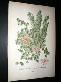 Step 1897 Antique Botanical Print. Sedum Siboldii, Sedum Sarmentosum
