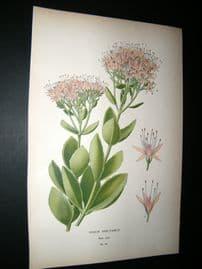 Step 1897 Antique Botanical Print. Sedum Spectable