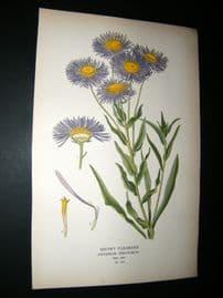 Step 1897 Antique Botanical Print. Showy Fleabane