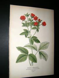 Step 1897 Antique Botanical Print. Silvery Cinquefoil