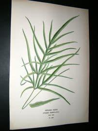 Step 1897 Antique Botanical Print. Spider Fern