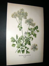 Step 1897 Antique Botanical Print. Thalictrum Aquilegifolium