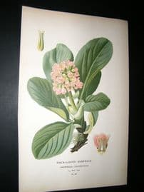 Step 1897 Antique Botanical Print. Thick-Leaved Saxifrage
