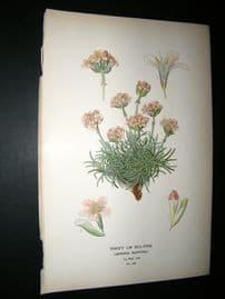 Step 1897 Antique Botanical Print. Thrift Of Sea Pink