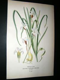 Step 1897 Antique Botanical Print. Tripet Lily