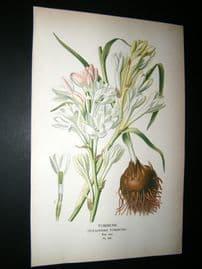 Step 1897 Antique Botanical Print. Tuberrose
