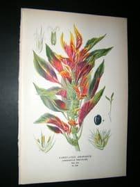 Step 1897 Antique Botanical Print. Varigated Amaranth