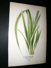 Step 1897 Antique Botanical Print. Veitch's Screw Pine