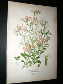 Step 1897 Antique Botanical Print. Virginian Stock