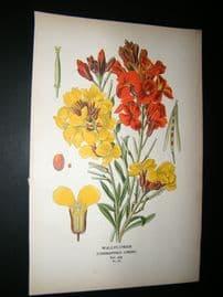 Step 1897 Antique Botanical Print. Wallflower