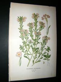 Step 1897 Antique Botanical Print. Zaluzianskya Selaginoides