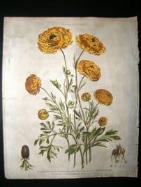 Thomas Green 1820 Hand Col Botanical Print. Ranunculus